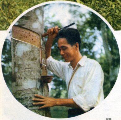 海南岛的橡胶园(1956年) 马来亚归侨雷贤钟的侨福公司1954年栽的橡