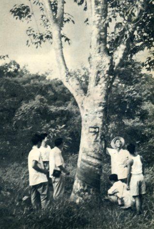 海南岛的橡胶园(1956年) 马来亚归侨雷贤钟的侨福公司1954年栽的橡胶